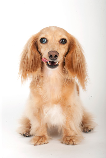 DOG 14 MR0003 01 © Kimball Stock Longhair Dachshund Sitting On White Seamless Licking Lips