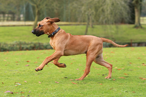 DOG 14 NR0019 01 © Kimball Stock Rhodesian Ridgeback Runnning On Grass