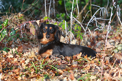 DOG 14 NR0021 01 © Kimball Stock Longhair Dachshund Laying In Fallen Leaves