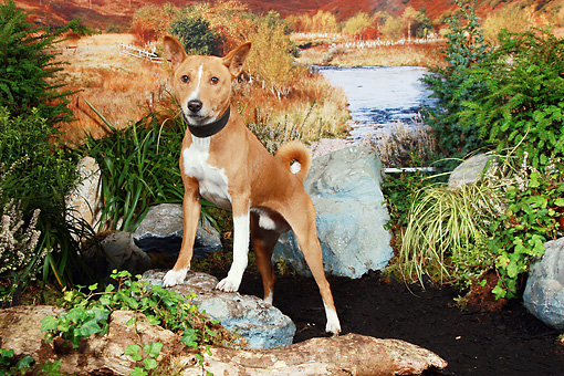 DOG 14 NR0023 01 © Kimball Stock Basenji Standing On Dirt By Rocks And Shrubs