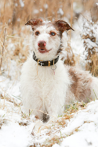 DOG 14 NR0024 01 © Kimball Stock Lurcher Laying On Snow And Dry Grass