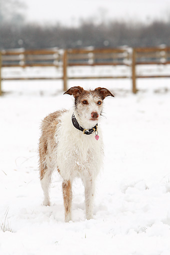DOG 14 NR0025 01 © Kimball Stock Lurcher Standing In Snow