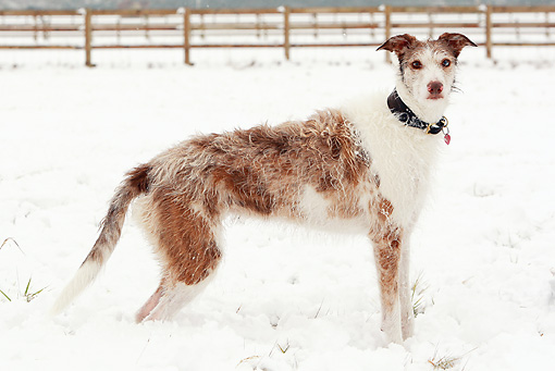 DOG 14 NR0026 01 © Kimball Stock Lurcher Standing In Snow