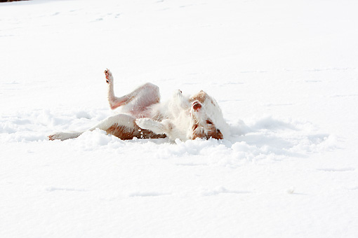 DOG 14 NR0027 01 © Kimball Stock Lurcher Rolling In Snow