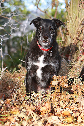 DOG 14 NR0028 01 © Kimball Stock Lurcher Sitting In Fallen Leaves