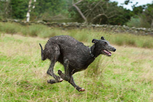 DOG 14 NR0032 01 © Kimball Stock Scottish Deerhound Running Through Field