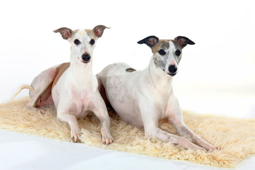 DOG 14 PE0013 01 © Kimball Stock Two Whippets Laying On Fur Rug On White Seamless
