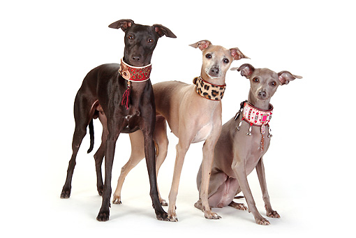 DOG 14 PE0014 01 © Kimball Stock Three Italian Greyhounds Of Different Coat Colors On White Seamless