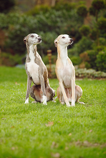 DOG 14 PE0018 01 © Kimball Stock Two Whippets Sitting On Grass