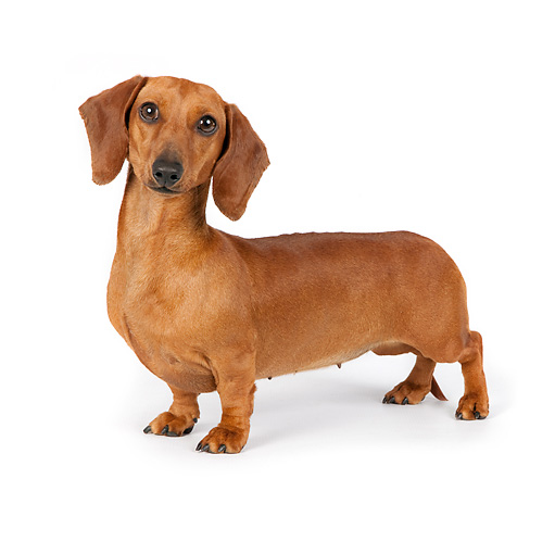 DOG 14 RK0027 01 © Kimball Stock Smooth Coat Dachshund Standing On White Seamless