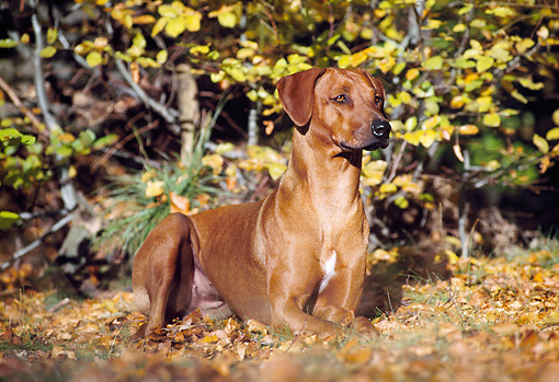 DOG 14 SS0002 01 © Kimball Stock Rhodesian Ridgeback Laying In Fallen Leaves
