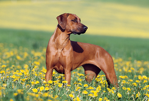 DOG 14 SS0004 01 © Kimball Stock Rhodesian Ridgeback Standing In Field Of Dandelions