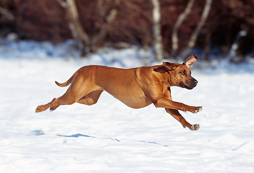 DOG 14 SS0009 01 © Kimball Stock Rhodesian Ridgeback Running On Snow