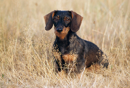 DOG 14 SS0011 01 © Kimball Stock Wirehaired Dachshund Sitting In Dry Grass