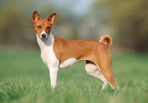 DOG 14 SS0013 01 © Kimball Stock Basenji Standing On Grass