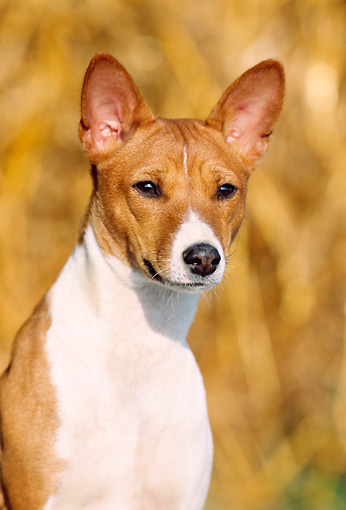 DOG 14 SS0014 01 © Kimball Stock Head Shot Of Basenji Sitting