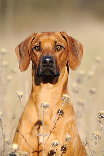 DOG 14 SS0015 01 © Kimball Stock Close-Up Of Rhodesian Ridgeback Sitting In Meadow