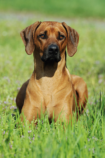 DOG 14 SS0017 01 © Kimball Stock Close-Up Of Rhodesian Ridgeback Laying In Meadow