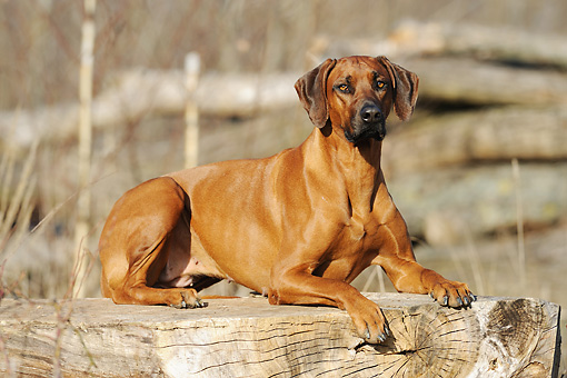 DOG 14 SS0018 01 © Kimball Stock Rhodesian Ridgeback Laying In On Tree Trunk
