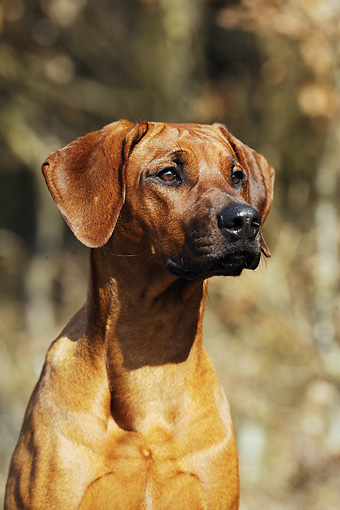 DOG 14 SS0022 01 © Kimball Stock Close-Up Of Rhodesian Ridgeback Sitting In Meadow