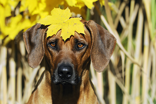 DOG 14 SS0024 01 © Kimball Stock Head Shot Of Rhodesian Ridgeback Sitting With Yellow Leaf On Head