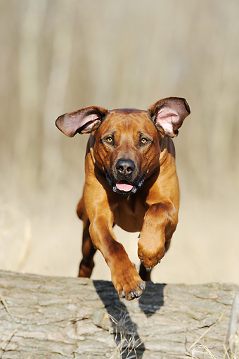 DOG 14 SS0026 01 © Kimball Stock Rhodesian Ridgeback Leaping Over Tree Trunk