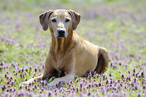 DOG 14 SS0027 01 © Kimball Stock Rhodesian Ridgeback Laying On Grass With Purple Flowers