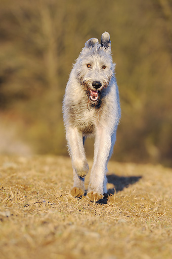 DOG 14 SS0028 01 © Kimball Stock Irish Wolfhound Running On Dry Grass