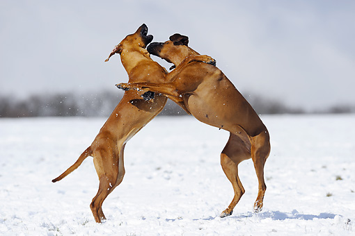 DOG 14 SS0030 01 © Kimball Stock Rhodesian Ridgebacks Fighting On Snow