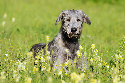 DOG 14 SS0031 01 © Kimball Stock Irish Wolfhound Laying In Meadow With Yellow Flowers