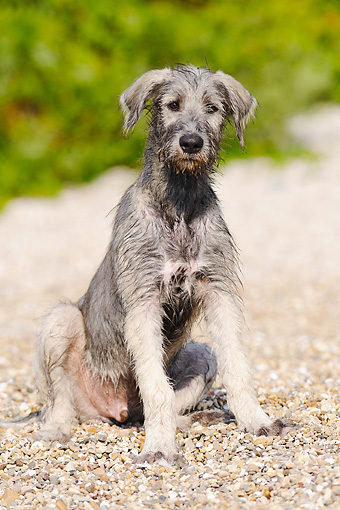 DOG 14 SS0034 01 © Kimball Stock Irish Wolfhound Sitting On Gravel Path