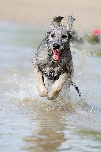 DOG 14 SS0035 01 © Kimball Stock Irish Wolfhound Running Through Water