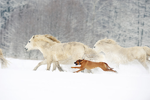 DOG 14 SS0036 01 © Kimball Stock Rhodesian Ridgeback Running Alongside Connemara Horses In Snow