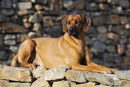 DOG 14 SS0040 01 © Kimball Stock Rhodesian Ridgeback Laying On Stone Wall
