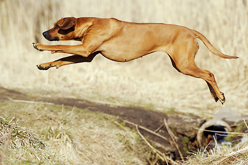 DOG 14 SS0041 01 © Kimball Stock Rhodesian Ridgeback Leaping Over Ditch In Grass Field