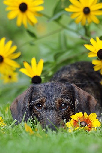 DOG 14 SS0043 01 © Kimball Stock Portrait Of Wirehaired Dachshund  Resting In Garden