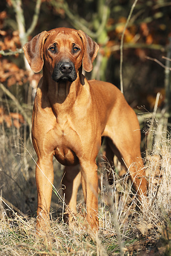 DOG 14 SS0051 01 © Kimball Stock Portrait Of Rhodesian Ridgeback Standing In Woods