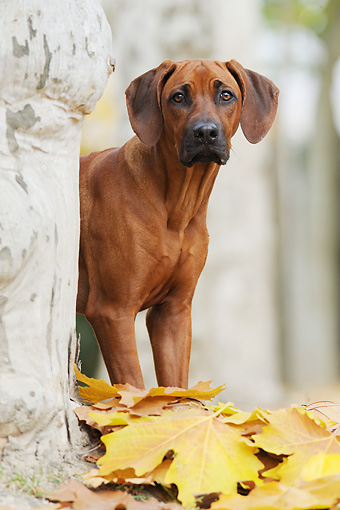 DOG 14 SS0052 01 © Kimball Stock Portrait Of Rhodesian Ridgeback Standing Behind Tree In Autumn