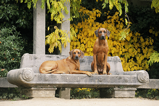 DOG 14 SS0054 01 © Kimball Stock Two Rhodesian Ridgebacks On Bench In Autumn
