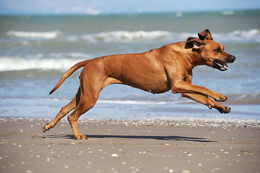 DOG 14 SS0057 01 © Kimball Stock Rhodesian Ridgeback Female Running On Beach