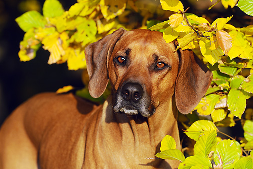 DOG 14 SS0062 01 © Kimball Stock Close-Up Of Rhodesian Ridgeback Standing By Autumn Leaves
