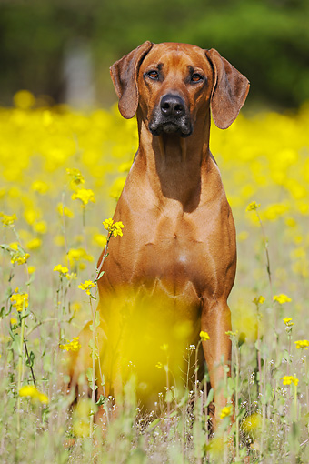 DOG 14 SS0064 01 © Kimball Stock Portrait Of Rhodesian Ridgeback Female Sitting In Spring Meadow
