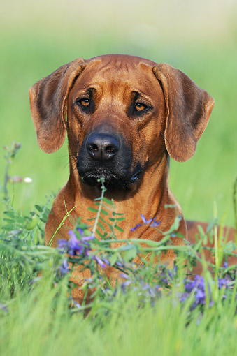 DOG 14 SS0068 01 © Kimball Stock Portrait Of Rhodesian Ridgeback Laying In Spring Meadow