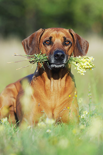 DOG 14 SS0069 01 © Kimball Stock Portrait Of Rhodesian Ridgeback Holding Flowers In Mouth