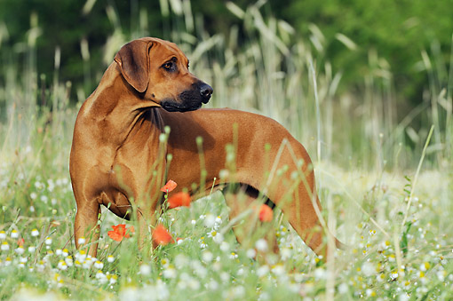 DOG 14 SS0070 01 © Kimball Stock Rhodesian Ridgeback Standing In Spring Meadow