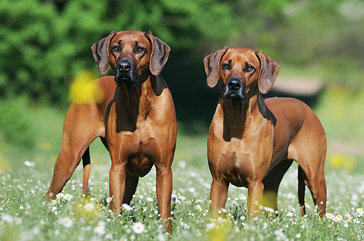 DOG 14 SS0071 01 © Kimball Stock Two Rhodesian Ridgebacks Standing In Spring Meadow