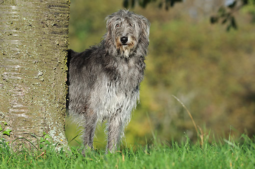 DOG 14 SS0074 01 © Kimball Stock Scottish Deerhound Standing By Tree In Grass