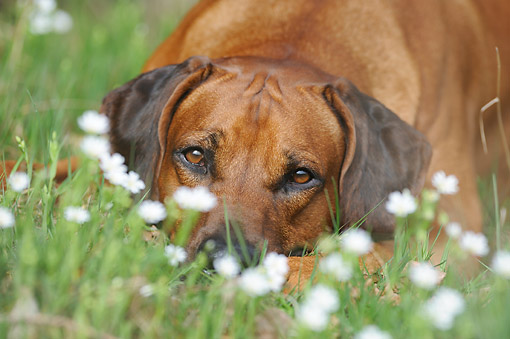 DOG 14 SS0078 01 © Kimball Stock Rhodesian Ridgeback Laying In Grass And Flowers