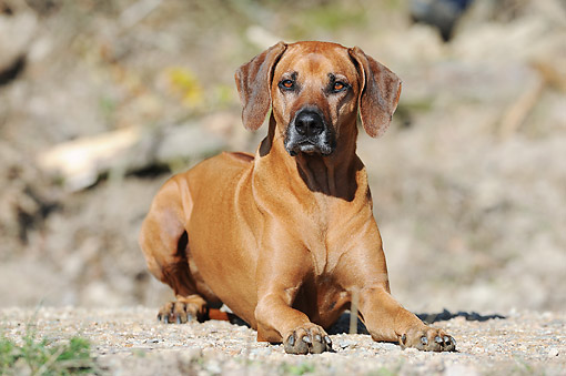 DOG 14 SS0079 01 © Kimball Stock Rhodesian Ridgeback Laying