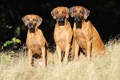 DOG 14 SS0081 01 © Kimball Stock Rhodesian Ridgebacks Standing Tall In Grass